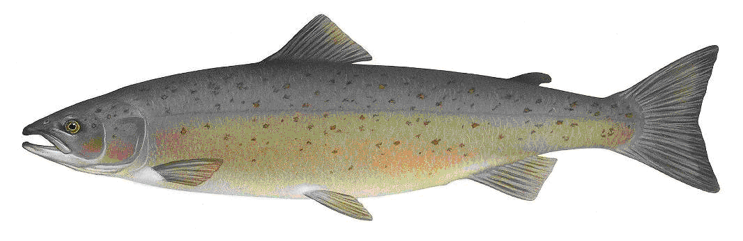 The Atlantic salmon, Salmo salar, is a fish in the family Salmonidae, which is found in the northern Atlantic Ocean and in rivers that flow into the north Atlantic and, due to human introduction, the north Pacific