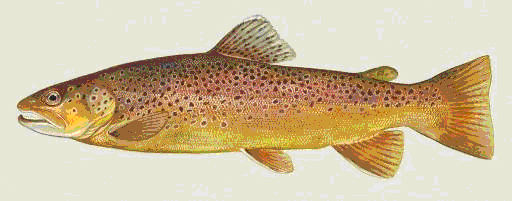 Brown trout start life on a diet of invertebrates, but later on some of them switch to eating fish. These larger, predatory individuals are sometimes known as ferox trout, and were once thought to be a different species.